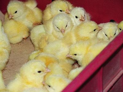 Бизнес идея: разведение и продажа цыплят бройлеров