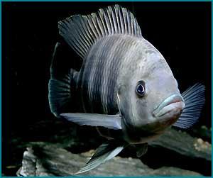 Самая популярная и вкусная рыба в Израиле