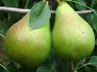 Выращивание яблонь и груш на небольших участках
