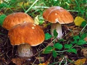 Бизнес-идея: Собираем и продаём лесные грибы