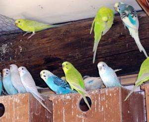Бизнес идея: разведение волнистых попугаев для продажи