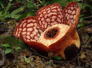 Раффлезия – цветок-чудо